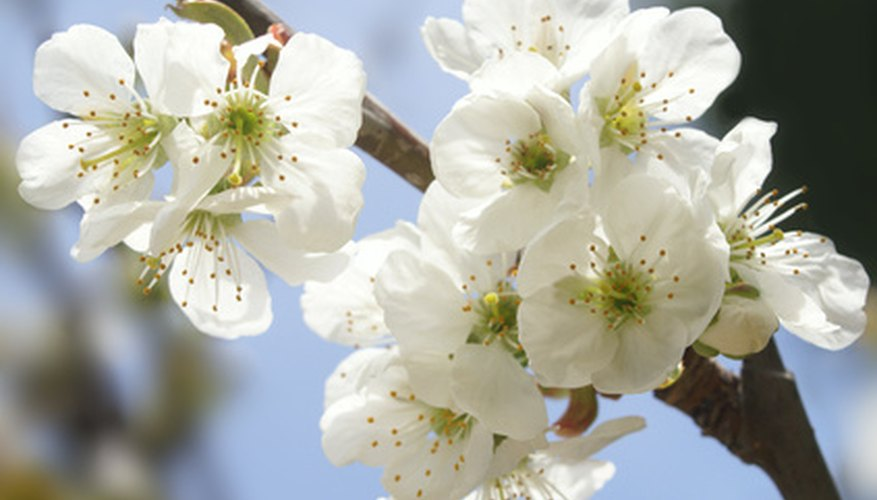 Dwarf cherry trees can be pruned much in the same way as their taller cousins.