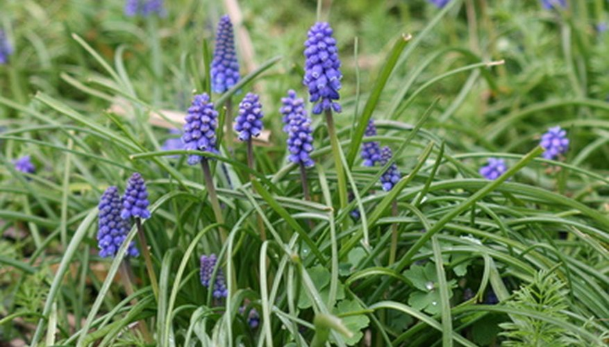 You can get rid of invasive bugleweed without toxic chemicals.