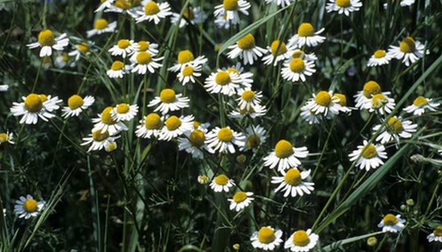 Identify chamomile plants growing in the soil.