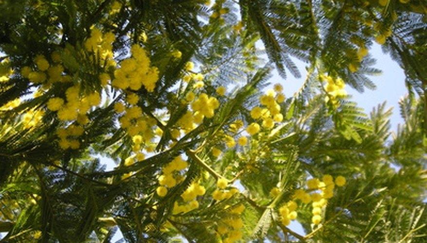 Mimosa trees are popular ornamental trees.