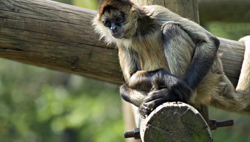 It is fun to make monkeys.