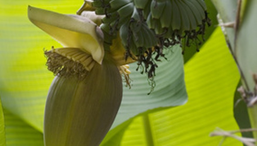Banana leaves can grow up to four feet in length.