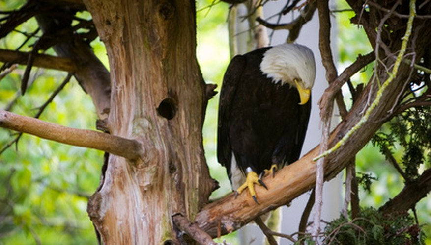 A national symbol for the United States, the bald eagle often nests in pine trees.
