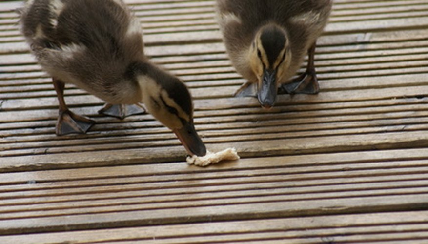 Unlike meal worms, bread is one of the foods that should not be fed to baby ducklings.