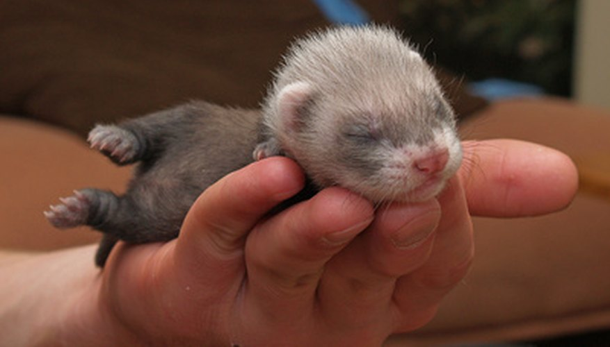 Ferrets are both engaging and adorable.