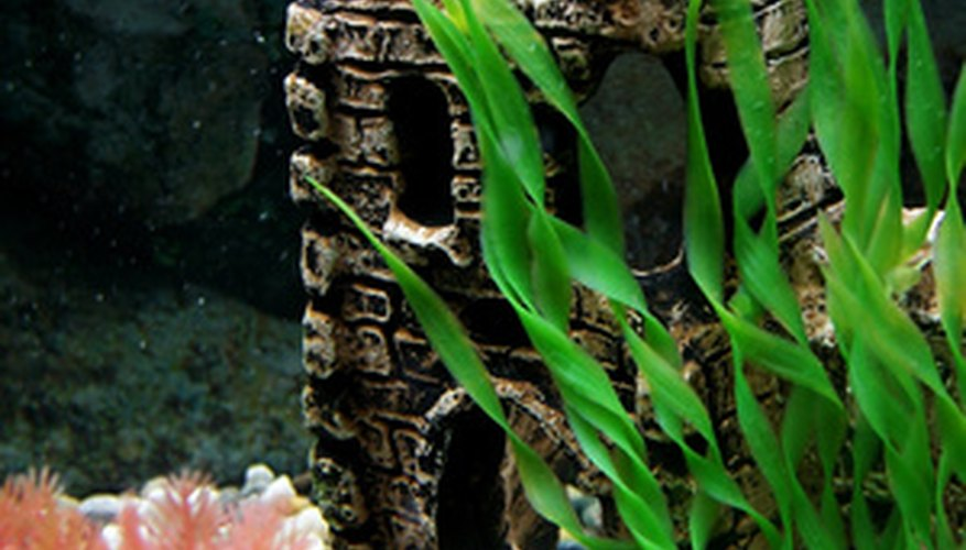 A pea placed in the aquarium is a possible cure for swim bladder disease.