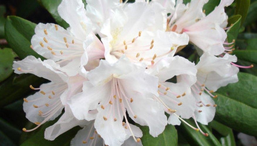 Oleander bushes thrive in slightly acidic soils.