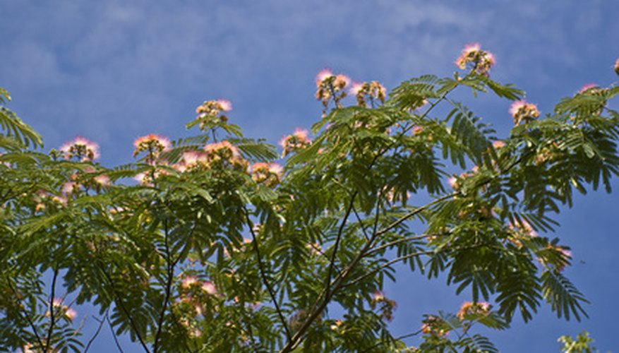 Mimosa trees are known for their unique pink blossoms.