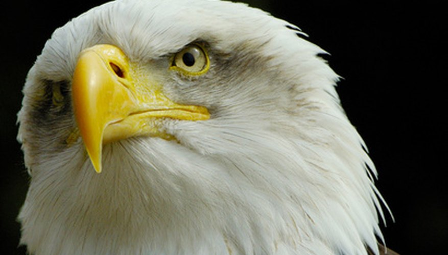 Atop the food web, bald eagles were worst affected by DDT.