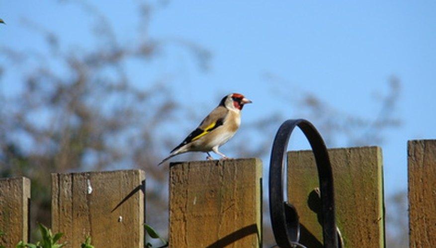 The European Goldfinch, Carduelis carduelis