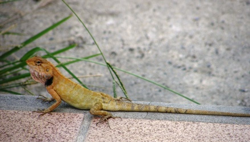 Geckos have noses and lungs, just as humans do.