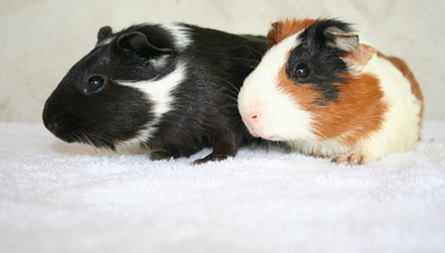 Guinea pigs are cute pets but are also messy.