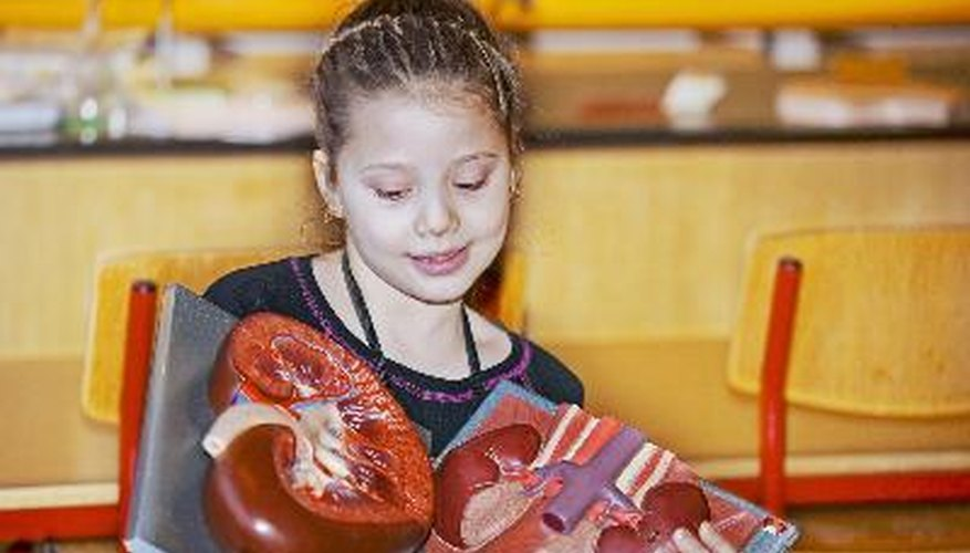 Science fair participants can build a model of a heart to demonstrate how the heart works.