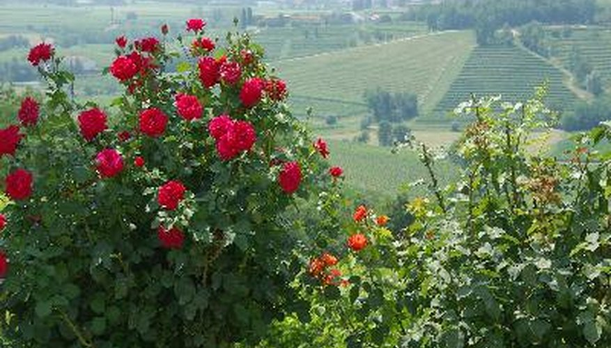 It is possible to have roses blooming in your garden all season long.