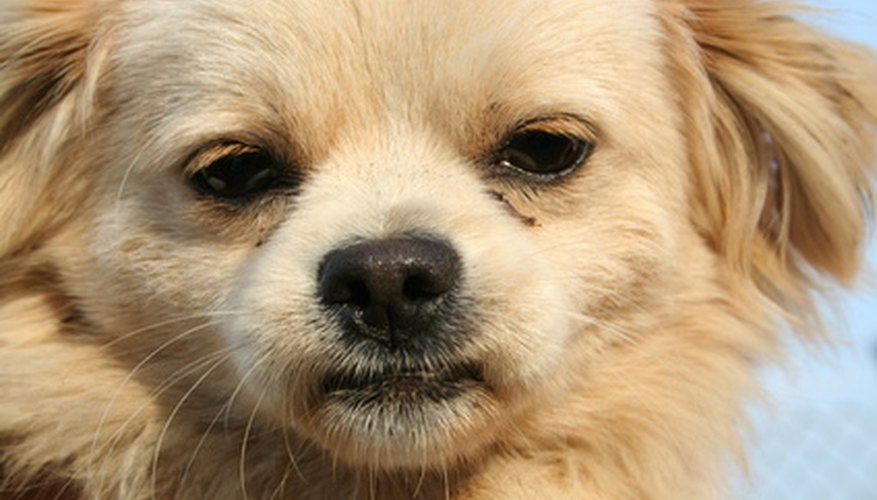 An itchy dog may have cheyletiella mite infestation