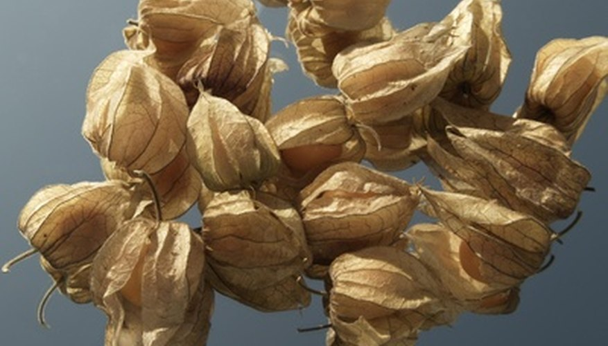 The physalis berry is surrounded by a husk, called a calyx.