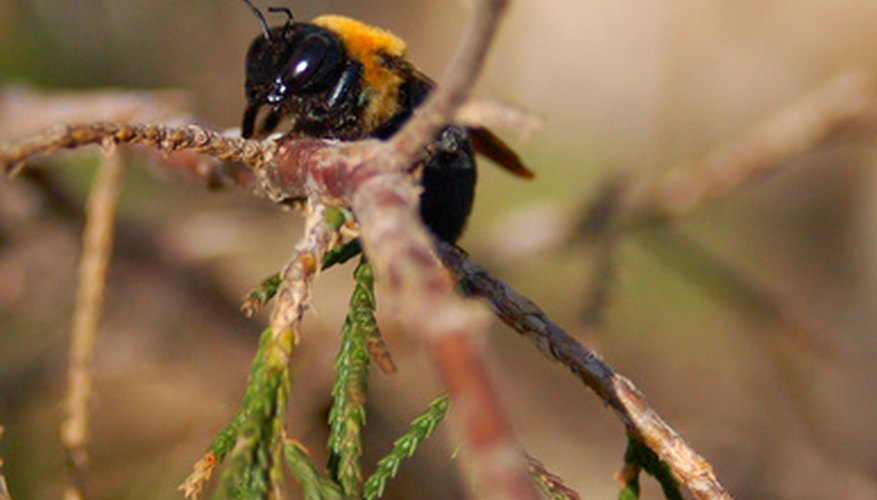 The carpenter wood bee looks similar to a bumblebee, with yellow and black colouration.