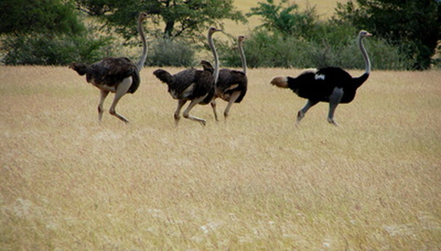 Ostriches live in grasslands and on Africa's arid plains.