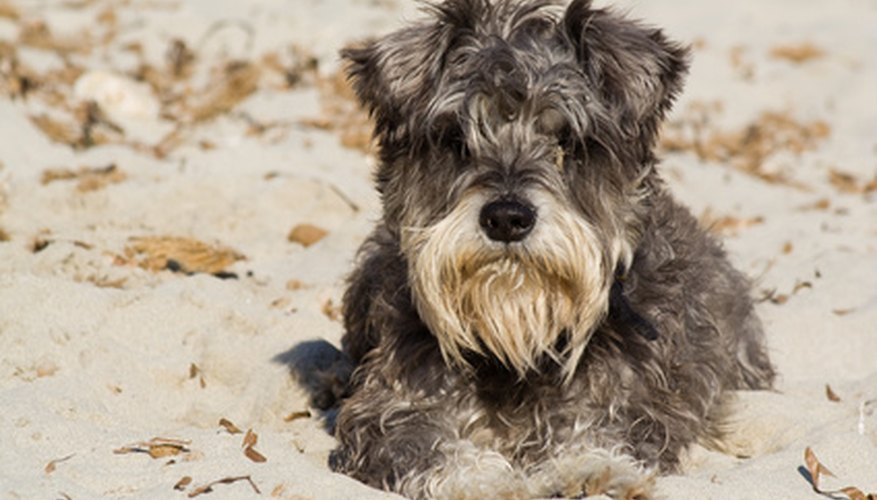 A dog with a sore paw could have a plantar ligament rupture.