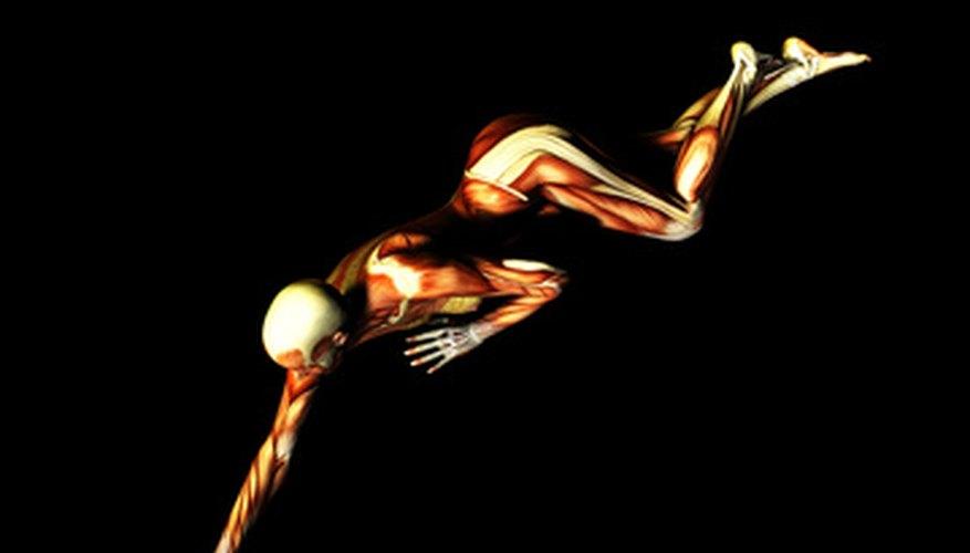 Nerves control muscle movement via nerve impulses.