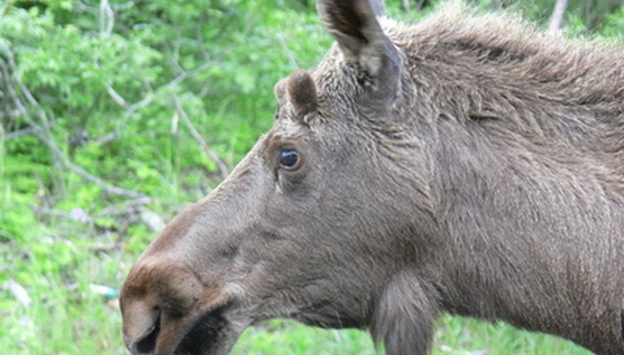 Moose lovers could see the animals they love during a vacation to Yellowstone National Park.