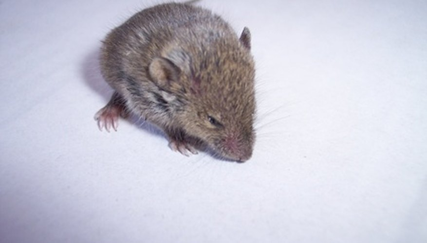 House mice tend to nest in areas such as attics and stoves.