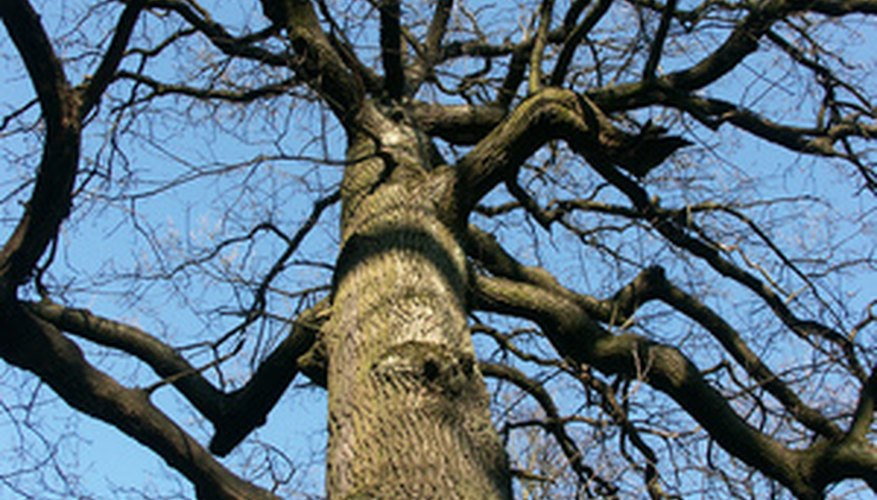 Wood from the oak tree is considered one of the strongest types of wood.