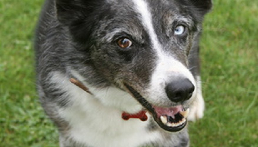 Cushing's Disease is common in older dogs.