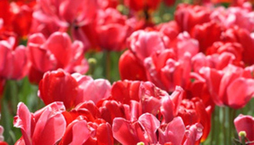 Tulips abound at the Boston Public Garden.