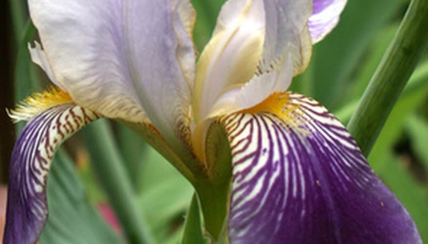 Iris can spread outside their intended space.