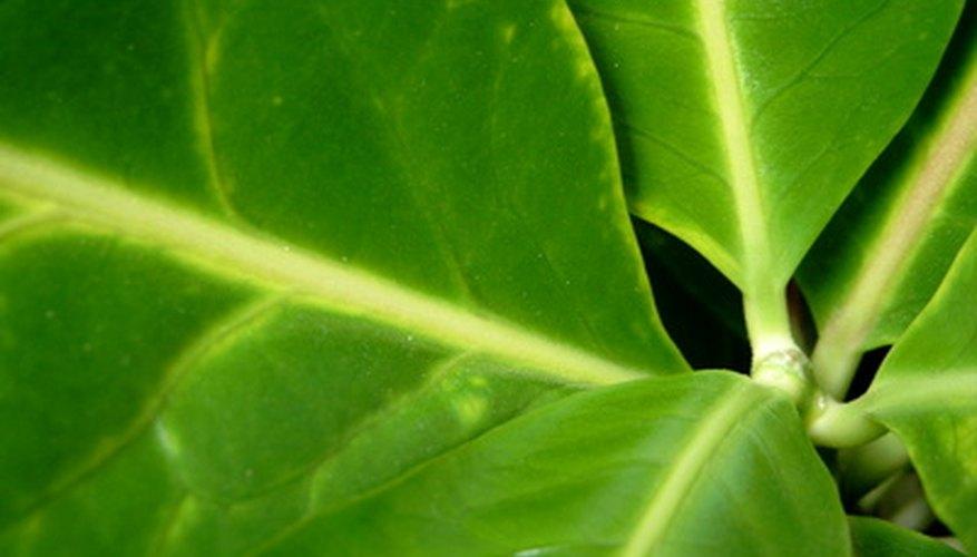 An AeroGarden grows plants without soil.