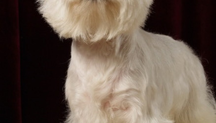 Westies are bright white charmers in the household.