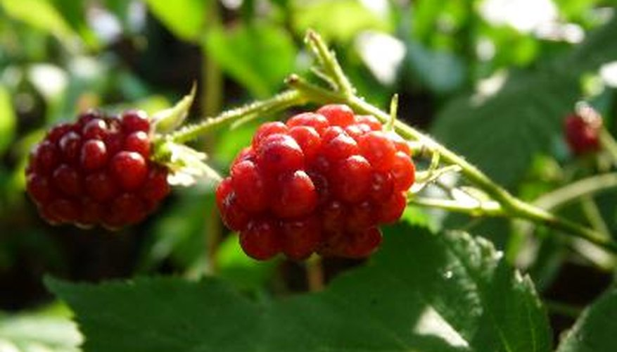 Plump raspberries result from favourable growing conditions.