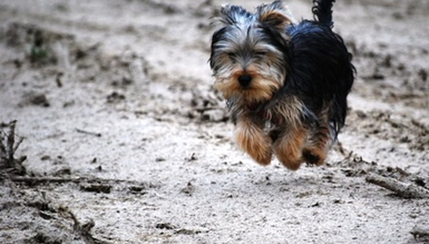 Tooth wear can help you determine the age of your Yorkie.