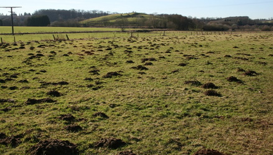 Pesky moles aerate the soil and keep grub populations down.