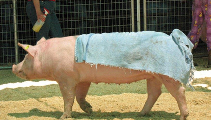 Ticks can infest pigs.