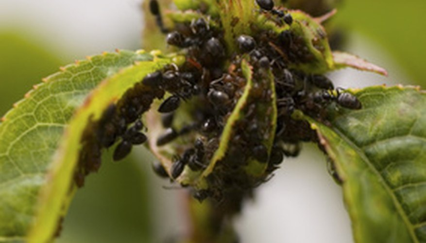 Numerous black bugs can infest hibiscus plants.
