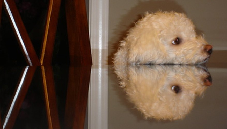 Information about Bichon Russell hybrid puppies