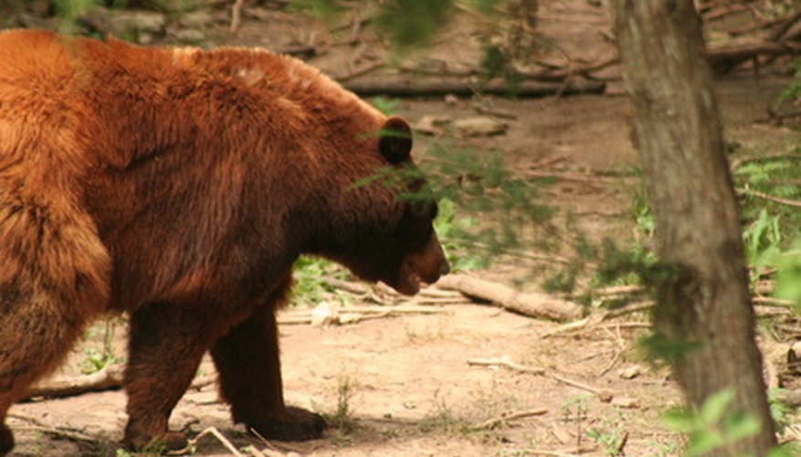 Bears are the largest omnivores in North American temperate woodlands.