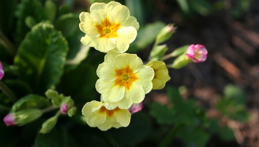 Primula flowers are susceptible to a variety of pest problems.