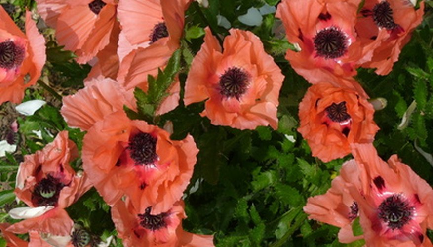 Perennial poppies are bright additions to landscaping.