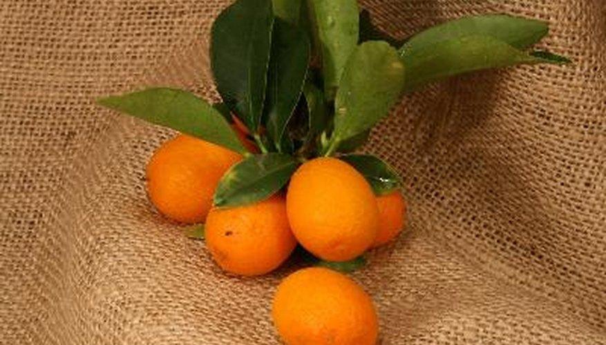 Leaf drop on a kumquat often indicates improper environmental conditions.
