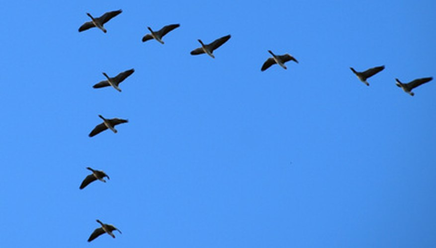Canada geese migrate in large groups known as flocks.
