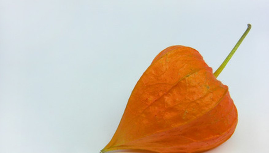 The dried flowers of the Chinese lantern plant resemble paper Chinese lanterns.