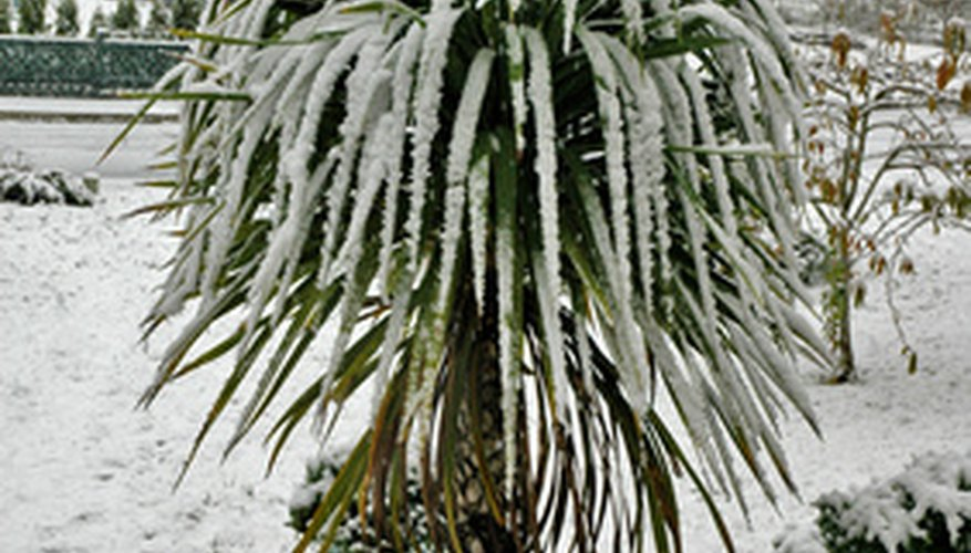 Cordyline australis is hardier than many subtropical plants and can stand a brief freeze.