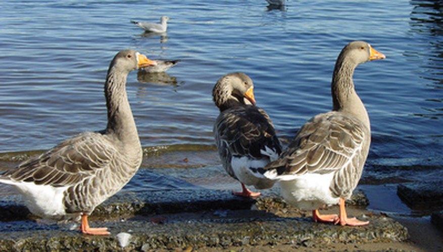 Geese are often kept as backyard pets.