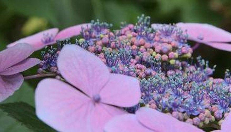 Hydrangeas are a flowering shrub.