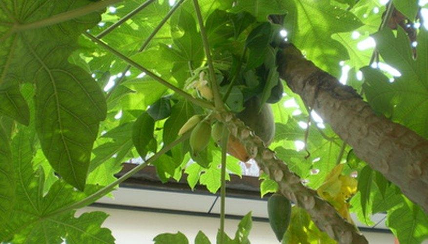 The petioles of papaya plants make wonderful handcrafted flutes.