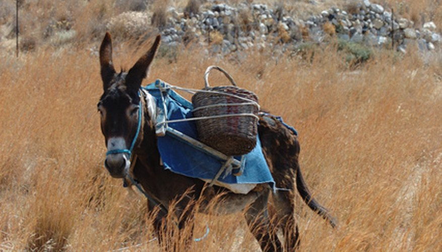 The good Samaritan put the Jewish man on his own donkey.