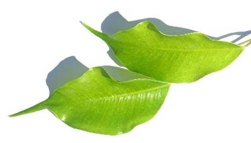 Ficus benjaminas drop leaves for several reasons.